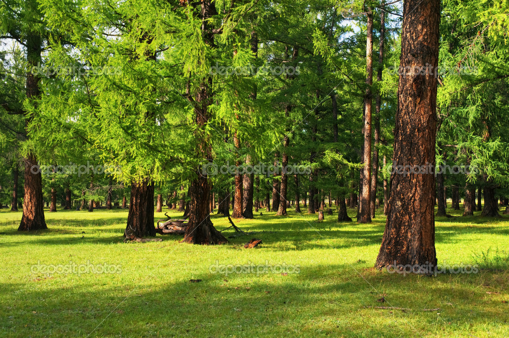 Фотообои Сосновый лес