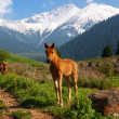 Little foal in mountains — Stock Photo
