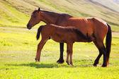 Foal drinking milk — Stock Photo