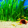 Stock Photo: Gold Barb fish in Aquarium
