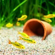 Gold Barb fish in an Aquarium — Stock Photo