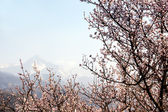 Blooming wild apricot tree — Stock Photo