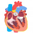 Human Heart — Stock Photo