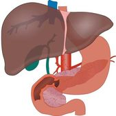 Liver Anatomy — Stock Photo