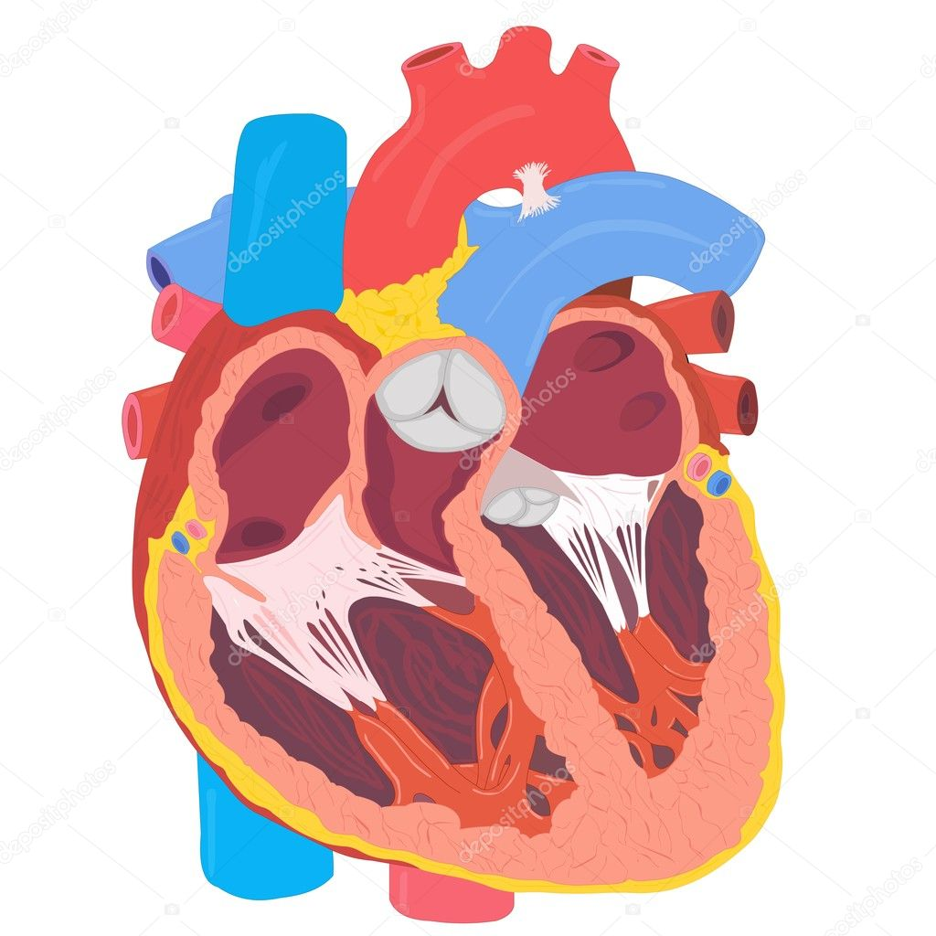 Human Heart — Stock Photo #9381072