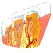 Stock Vector: Tooth anatomy