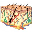 Skin Anatomy - Stockvectorbeeld