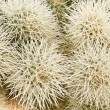 Cholla Cactus Close-up — Stock Photo