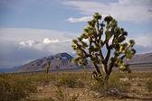 Joshua tree nel deserto — Foto Stock