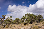 Hidden Forest of Joshua Trees — Stock Photo