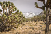 Joshua Trees After a Storm — Stock Photo