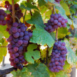 Wine grapes — Stock Photo #10075707