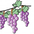 Three bunches of grapes — Stock Photo