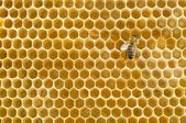 Honeybee on a comb — Stock Photo