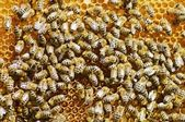 Honeybees on a comb — Stock Photo