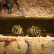 Bees in a beehive — Stockfoto