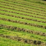Hay windrows — Stock Photo
