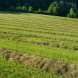 Stock Photo: Hay windrows