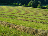 Hay windrows — Stock Photo