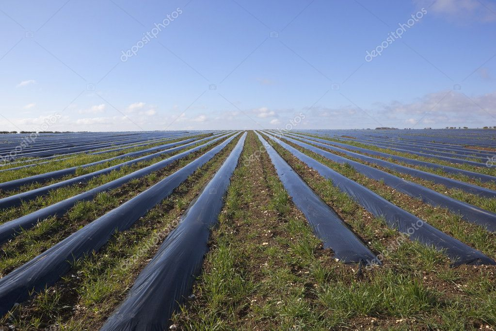 Arable landscape with blue sky reflected in rows of protective polythene mulch converging toward the horizon  Stock Photo #10060693