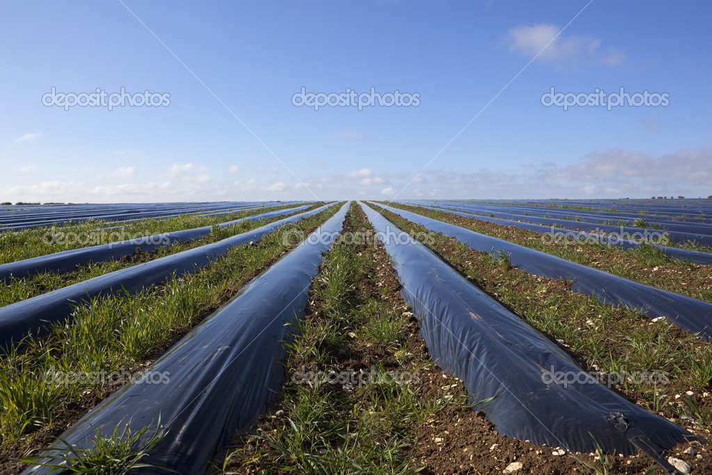 Agricultural landscape with weeds growing between rows of protective polythene mulch under a blue springtime sky — Stock Photo #10060702