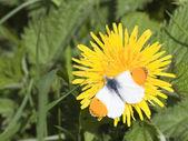 Male orange tip butterfly — Stockfoto