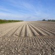 Potato furrows in chalky soil - Stock Photo