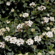 Viburnum tinus — Stock Photo