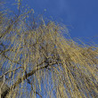 Golden willow background - Stock Photo