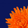 Beautiful Orange Chrysanthemum on dark blue with selective focus - Stock Photo