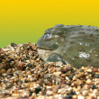 A very large African bullfrog. Lives in tropical Africa. — Stock Photo