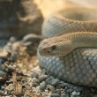 A close-up shot snake python — Foto Stock