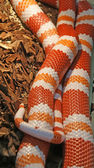 Honduran milksnake (Lampropeltis triangulum hondurenisis). — Stock Photo