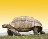 Großes Bild sehr große Schildkröte — Stockfoto