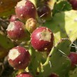 Opuntia cactus (prickly pear) with ripe fruits — Stock Photo #9000796