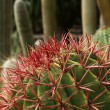 Cactuses closeup in natural conditions — Stock Photo #9002887