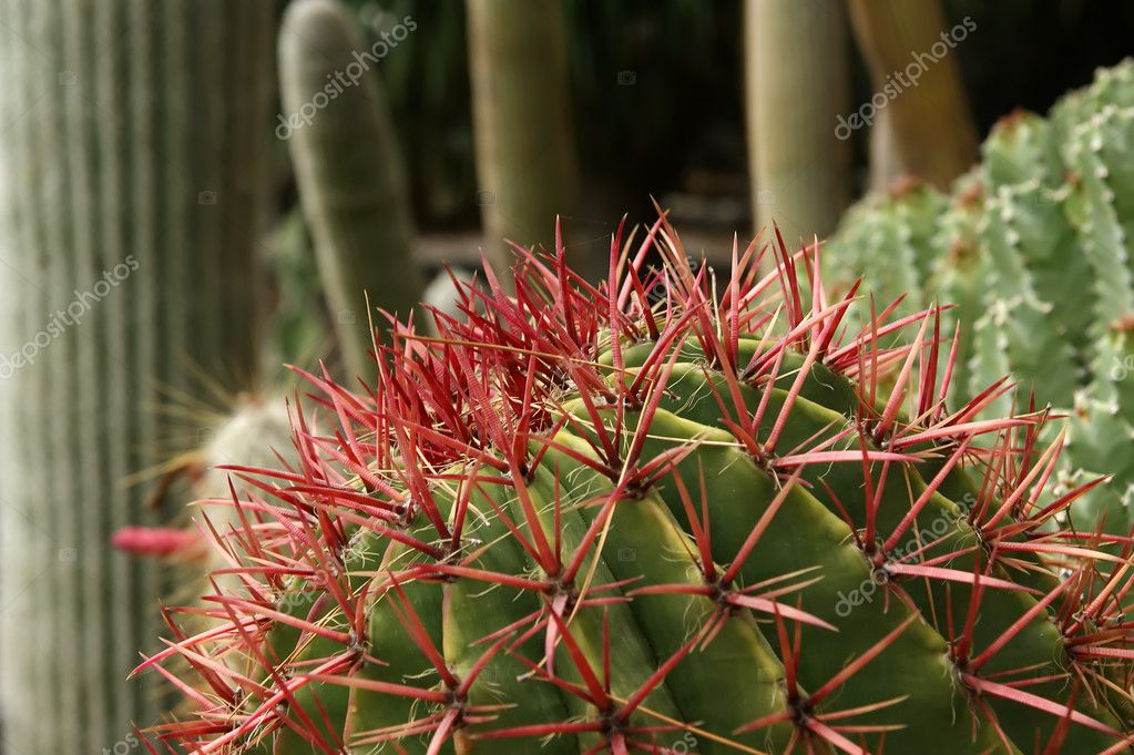 Cactuses closeup in natural conditions  Stock Photo #9002887