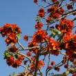 Stock Photo: Flamboyant tree (Royal Poincianor Delonix regi)