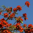 Flamboyant tree (Royal Poinciana or Delonix regia ) — Stock Photo