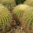 Stock Photo: Cactuses closeup in natural conditions