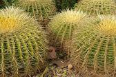 Closeup cactus dans des conditions naturelles — Photo