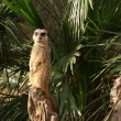 The meerkat or suricate (Suricata, suricatta) — Foto Stock