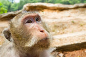 Macaque monkey portrait. Angkor Wat. Cambodia — Stock Photo