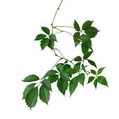The branch of wild grape — Stock Photo