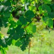 A bunch of wine grapes - Stock Photo