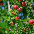 Plum fruit on the tree - Stock Photo