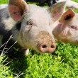 Two pigs on a meadow — Stock Photo