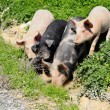 Four pigs in a gutter — Stock Photo
