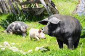 Three pigs on a meadow — Stock Photo