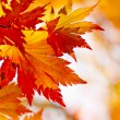 Autumnal maple leaves in blurred background — Stock Photo #8132067
